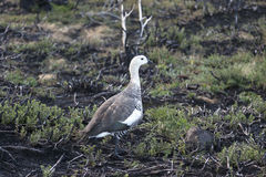 Magellan goose Royalty Free Stock Photo
