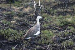 Magellan goose Royalty Free Stock Photo