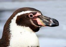 magellan penguin Στοκ εικόνα με δικαίωμα ελεύθερης χρήσης
