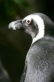 Magellan Penguin Royalty Free Stock Photos
