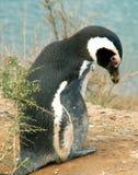 Magellan penguin Royalty Free Stock Photography