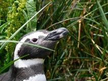 Magellan penguin. Near Ushuaia, Patagonia Stock Photos