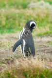 Magellan penguin in Chile Stock Photos