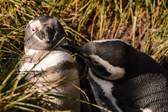 Magellan penguin couple in love. A Magellan penguin couple in love Stock Photos