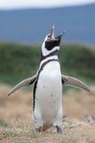 Magellan Penguin flaps its wings. Magellan Penguin flaps its wings & makes some noise, Punta Arenas, Chile royalty free stock image