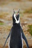 Magellan Penguin - Loudmouth stock photos