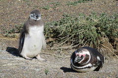 Magellan penguin stock photography