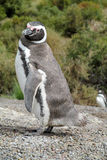 Magellan penguin stock photos