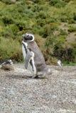 Magellan penguin Royalty Free Stock Photo