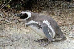 Magellan penguin Stock Photo