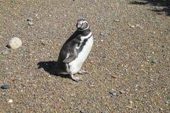 Magellan penguin in natural area Stock Photos