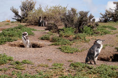 Magellan penguin near burrow Royalty Free Stock Photography