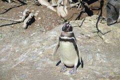 Magellan penguin in a nest Stock Image
