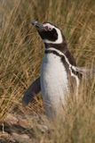 Magellan Penguin in Patagonia Royalty Free Stock Photos