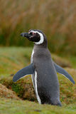 Magellan penguin. Penguin in grass, funny image in nature. Falkland Islands. Bird in nest ground hole. Magellan penguin. Penguin in grass, funny image in nature Stock Image
