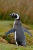 Magellan penguin. Penguin in grass, funny image in nature. Falkland Islands. Bird in nest ground hole. stock image