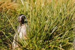 Magellan penguin portrait in the grass Royalty Free Stock Photos
