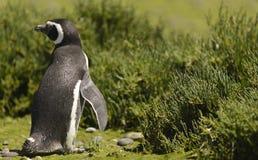 Magellan Penguin