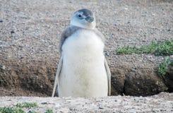 Magellan penguin on shore Stock Photography