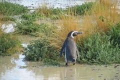 Magellan penguin in a swamp Royalty Free Stock Photos