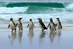 Magellan penguin, three water bird in the ocean, swimming and jumping in the sea, Falkland Island. Sea waves with birds. Penguin o Royalty Free Stock Image