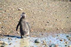 Magellan penguin walks in mud Royalty Free Stock Photo