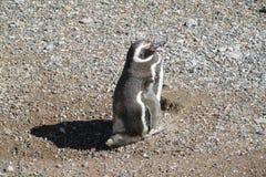 Magellan penguin walks on stones Royalty Free Stock Photography