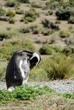 Magellan penguin in the wild Royalty Free Stock Photo