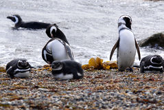magellan penguins Στοκ φωτογραφίες με δικαίωμα ελεύθερης χρήσης