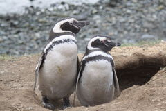 Magellan Penguins Stock Image