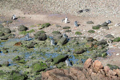 Magellan penguins colony at Atlantic ocean shore. Magellan penguin in South America. Magellan penguins colony at Atlantic ocean shore Royalty Free Stock Images