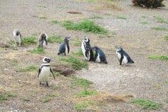 Magellan penguins colony at Atlantic ocean shore. Magellan penguin in South America. Magellan penguins colony at Atlantic ocean shore Royalty Free Stock Image