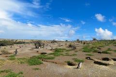 Magellan penguins colony at Atlantic ocean shore. Magellan penguin in South America. Magellan penguins colony at Atlantic ocean shore Royalty Free Stock Photos