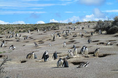 Magellan penguins colony at Atlantic ocean shore Royalty Free Stock Photography