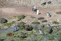 Magellan penguins colony at Atlantic ocean shore. Magellan penguin in South America. Magellan penguins colony at Atlantic ocean shore Royalty Free Stock Photo