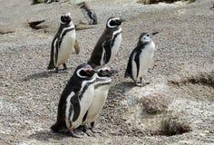 Magellan penguins colony Stock Photography
