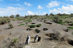Magellan penguins colony Royalty Free Stock Photography