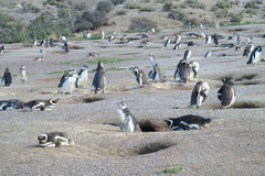 Magellan penguins colony Royalty Free Stock Images
