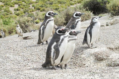 Magellan penguins family Stock Photo