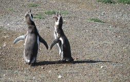 Magellan penguins stock images