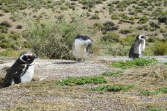 Magellan penguins in natural area Royalty Free Stock Photos