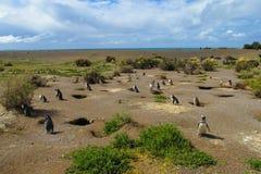 Magellan penguins in natural area Royalty Free Stock Photo