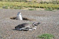Magellan penguins near burrow Royalty Free Stock Photo