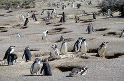 Magellan penguins near burrows royalty free stock photography