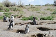 Magellan penguins near burrows Royalty Free Stock Photos