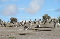 Magellan penguins near burrows Royalty Free Stock Images