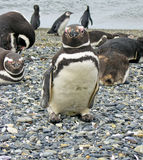 Magellan penguins near Ushuaia Royalty Free Stock Photography