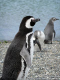 Magellan penguins near Ushuaia, Patagonia. 3 penguins on a beach with beagle canal background Stock Photography