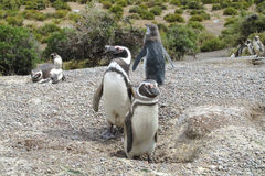 Magellan penguins in a nest Stock Image