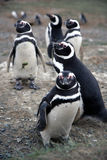 Magellan Penguins On An Island Royalty Free Stock Photos